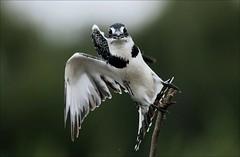 Bontvisvanger, Pied Kingfisher Female (Davi Schutte Potchefstroom) Tags: specanimal bontvisvanger opmprozeskybirdsanctuarypotchefstroombontvisvanger piedkingfisherfemale