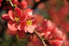 Ebakdoonia (anuwintschalek) Tags: flowers red rot austria 40mm niedersterreich strauch frhling blooming blten 2014 chaenomeles kevad wienerneustadt micronikkor zierquitte punane nikond90 ied ebakdoonia ilupsas springmerch