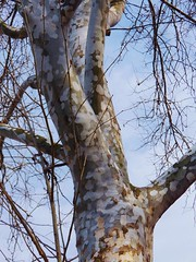 Ornamental bark (MissyPenny) Tags: tree sycamore bark treebark camoflauge buckscounty southeasternpa bristolpennsylvania