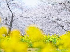 () Tags: park travel pink flowers trees light sky white plant flower macro tree castle nature japan garden cherry spring blossom bokeh blossoms taiwan sigma olympus apo  cherryblossom  sakura cherryblossoms   f28 cherrytree e30 cherrytrees rapeseed      cherryblossomfestival     150mm rapeseedfield sigma150mmmacro  sigma150mmf28  150mmf28 macroquot quotsigma sigmamacro150mmf28 sigmaapomacro150mmf28