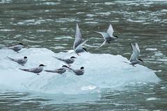 _MG_5223a (markbyzewski) Tags: bird alaska ugly iceberg tracyarm northsawyerglacier