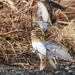 Common Snipe - Gallinago gallinago - Hrossagaukur (nurdug2010) Tags: