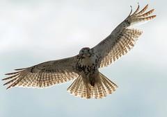 Heavily Backlit Juvenile Red Tailed Hawk (jabera10) Tags: red canon hawk raptor birdsinflight 500mm tailed redtail birdofprey redtailedhawk buteo 70d