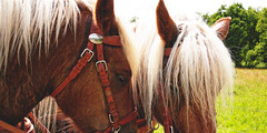 Horses in the sun (Digital Adrian) Tags: horse sun black cold animal forest pen four lumix blood 21 g wide mini olympus screen panasonic e micro dxo 17 pancake 20 asph fuchs thirds optics schwarzwlder mft kaltblut pm1 microft