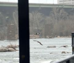 3-BirdsOfPrey (T's PL) Tags: trees water virginia nikon va richmondva osprey birdsofprey yabbadabbadoo tamron18270 d5100 nikond5100 tamron18270f3563diiivcpzd