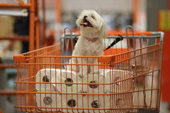 Princess of Paper Towels (ThePeppermintOtter) Tags: dog white cute home pose furry shih tzu adorable fluffy sit depot paws cart grocery maltese