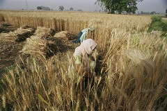 Harvesting wheat (World Bank Photo Collection) Tags: woman work women farm wheat farming working harvest crop worker agriculture bangladesh worldbank harvesting southasia