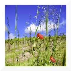 infinite grace (mamuangsuk) Tags: closeup fleurs wheat vine poppy poppies fiori papaveri whiteclouds reddots coquelicots brightbluesky sacredgeometry infinitegrace mamuangsuk fujixe1 burstsofcolours fujinonebcxf18f2