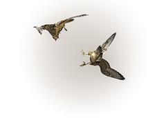 Aerial combat (Steve Corey) Tags: ca newgeneration pismobeach droh peregrinefalcons dailyrayofhope juvenilefalcons combatmaneuvers