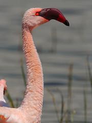 Lesser Flamingo (Rainbirder) Tags: kenya ngc lakenakuru lesserflamingo phoenicopterusminor phoeniconaiasminor rainbirder