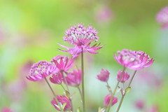 Ruby Wedding (littlekiss) Tags: flower vancouver rubywedding vandusenbotanicalgarden greatmasterwort littlekiss