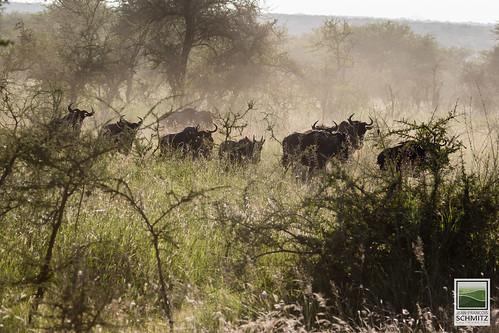 Wildebeest at Serengeti National Park - © 2015 Jean-François Schmitz