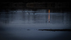 Evening on Walden Ponds (CAJC: in the Rockies) Tags: swans coots ducks geese waldenpondsboulderco boulderco wetlands winter wintermigration sonya6000 lightroom