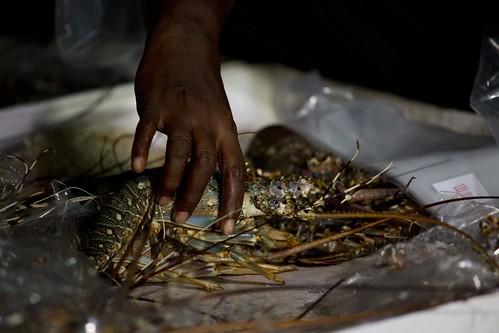 Women processing lobsters