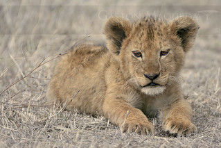 Cachorro de Leon (Lion Cub) - Ngorongoro CA - Tanzania