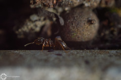 ant (Dyra Photography) Tags: ant insect insects macro zoom big bokeh black blur ants brown small photo photography art amazing amateur photographer nikon d3200 animal nature newbie new shot spring life