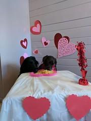 Buddy & Kodi (happy_hounds) Tags: dogdaycare dog daycare puppy pups boarding cagefree dogsofflickr purebred rescuedog happyhounds plymouthmichigan happyhoundsdogdaycare