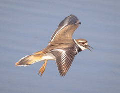 Kildeer in Flight (tresed47) Tags: 2017 201702feb 20170228bombayhookbirds birds bombayhook canon7d content delaware folder kildeer peterscamera petersphotos places shorebirds takenby us