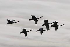 Whooper Swan.    Tysslinge  örebro (annsphoto) Tags: fågeltorn parkering whoopersvan sångsvan cafe rastplats matning foto kikare naturensteater natur svanfestival örebro märkning svan rånnesta tysslinge