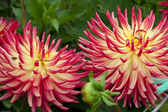 Dahlia Gardens-8722 (Donald Wanamaker Photography) Tags: sanfrancisco california park golden gate dahlias july2010