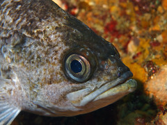 Kelp Rockfish Profile (NirupamNigam) Tags: fish underwater southerncalifornia channelislands anacapa rockfish kelprockfish californiadiving northernchannelislands