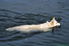 Playing fetch (JSB PHOTOGRAPHS) Tags: dog playing water pond stick fetch dsc7998