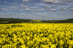 155/365 (AGB Photography) Tags: yellow nikon fields day155 oilseedrape d7000 day155365 3652013 agbphotography 365the2013edition 04jun13
