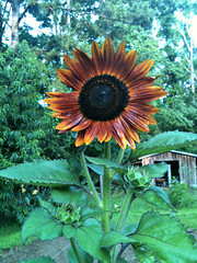 Sunflower in autumn's colors (LoveTheBaby) Tags: autumn red brown rust sunflower