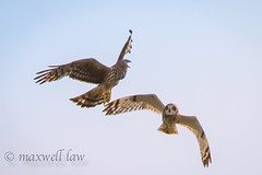 Hen Harrier and Short Eared Owl-3 (maxwell law photography) Tags: orkney henharrier shortearedowl