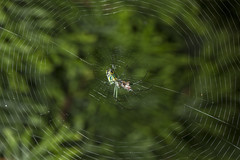 Spider eating series 15 (Richard Ricciardi) Tags: spider eating web spinne araa  araigne ragno timeseries     gagamba    nhn  spidertimeseries