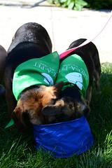 Andrea & Kodaline @ the Petathlon (Save-A-Pet Adoption Center) Tags: dog beagle female andrea adopted dogdaysofsummer saveapet 2013 justoneday kodaline petathlon