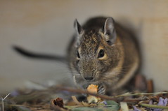 Leia (AlpineDaisy) Tags: wood wooden natural cage diet degu degus octodondegus octodon