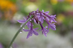 Wet (Read2me) Tags: flower purple drops she cye dof bokeh thechallengefactory pregamechallengewinner gamewinner friendlychallenges behind