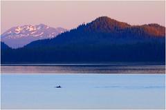 127hdra (markbyzewski) Tags: alaska juneau ugly killerwhale orcas