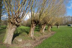 Villeneuve d'Ascq, parc urbain (Ytierny) Tags: france nature horizontal hiver arbre nord pelouse branche gazon flandre villeneuvedascq espacevert parcurbain mtropolelilloise saulettard ytierny
