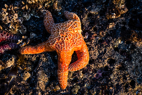 sunset ochre seastar