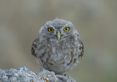 Juvenile Little Owl (Dave @ Catchlight Images) Tags: nature birds canon islands is little greece raptor owl 500mm f4 lense limnos