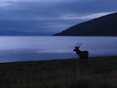 Red Deer at night Applecross West Scotland (Ian Robin Jackson) Tags: red west night scotland highlands deer scotlandscountryside