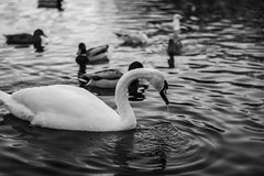 Swan (Third edit) (WhoIsMostash) Tags: park autumn wild lake cold nature water beautiful weather birds animals swimming outside outdoors photo swan waves wildlife drop again droplet