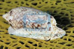 2009-01 HERBLAND MARTINIQUE NETTED OLIVE OLIVA RETICULARIS 2756