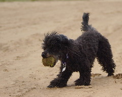 Poppy on the beach at Saltfleet with her ball. (Kerry711) Tags: england beach grass ball coast jumping sand minolta little action sony east tennis beercan poppy catch alpha a77 saltfleet