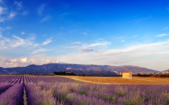 Provence countryside with lavender field
