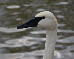 Trumpeter swan (Ratsiola) Tags: swans