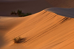 Supervivencia extrema. (Victoria.....a secas.) Tags: desert dune explore desierto duna marruecos shara