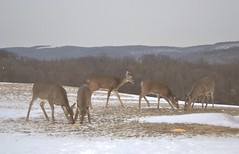 Deer Feeding in North Union Township, PA (atrain1728) Tags: county street wild mountain snow mountains nature animal feeding pennsylvania wildlife south union north doe deer hills pa penn western appalachian commonwealth fayette rolling grazing penna township southwestern uniontown chaffee twp commonwealthpa northuniontownship vision:sky=0551 vision:outdoor=097