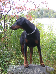 Autumn 2004, Dobermann Pinscher Apollo (firehouse.ie) Tags: boy red dog brown black male dogs 2004 girl animal animals female germany watch hell guard tan hound german devil doberman breed dobie pinscher hounds dobe dobermann dobies dobermans dobes pinschers dobermanns fantasticnature