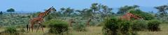 Giraffes (twosheffs) Tags: africa nature animal kenya wildlife nairobi safari giraffe nairobinationalpark