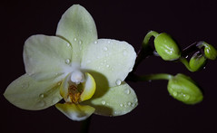 cream colored orchid (red-sequoia) Tags: plant orchid flower nature yellow drops natur pflanze gelb bud orchidee blume blte wassertropfen tropfen knospe zimmerpflanze