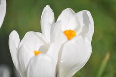Pavilion_Gardens_0048 (Peter-Williams) Tags: uk flowers garden sussex countryside brighton crocus daffodil parkland carmelia paviliongardens