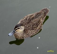Duck (pat.bluey) Tags: duck australia newsouthwales 1001nights gosford flickraward 1001nightsmagiccity hganimalsonly hg~sb hennysanimals sunrays5